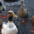 Stock Photo: Inquisitive ducks