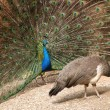 Peacock and peahen — Stock Photo