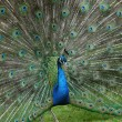 Peacock tail - Stock Photo