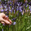 Stock Photo: Picking bluebells