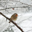 Foto Stock: Robin in snow