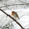 Stock Photo: Robin redbreast