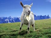 Koza alpejska — Zdjęcie stockowe