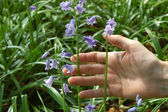 Holding bluebells — Stock Photo