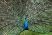 Peacock tail — Stock Photo