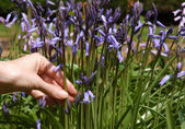 Picking bluebells — Stock Photo