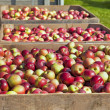 Apple Harvest — Stock Photo #10024888