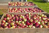 Apple Harvest — Stock Photo