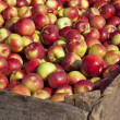Apple Harvest — Stock Photo