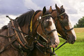 Clydesdale Team — Stock Photo
