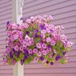 petunia basket — Stock Photo