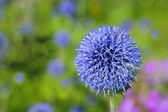 Globe Thistle — Stock Photo