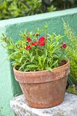 Garden Dianthus — Stock Photo