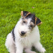 Wire Fox Terrier Puppy — Stock Photo