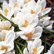 White Crocus — Stock Photo