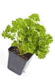 Curly Leaf Parsley — Stock Photo