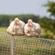 Turkey Chicks — Foto Stock