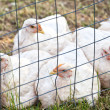Stock Photo: Free Range Chickens