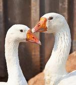 Free Range Domestic Geese — Stock Photo