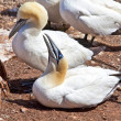 Northern Gannet — Stock Photo