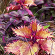 Fancy Coleus — Stockfoto