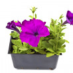 Purple Petunias — Stock Photo #9890774
