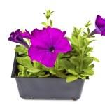 Purple Petunias — Stock Photo