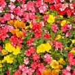 Stock Photo: Impatiens and Pansies