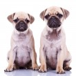 Two cute pug puppy dogs — Stock Photo