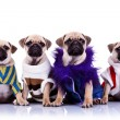 Four dressed mops puppy dogs — Stok fotoğraf