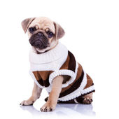 Cute mops puppy dog wearing clothes — Stock Photo