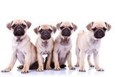 Four mops puppy dogs — Stock Photo