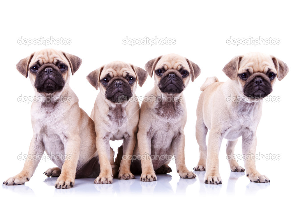 Four mops puppy dogs sitting in fron of a white background and looking to the camera — Photo #10185018