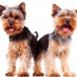 Two panting yorkshire puppy dogs - Stock Photo