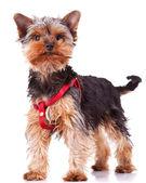 In piedi di cane cucciolo Yorkshire — Foto Stock