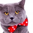 Big english cat wearing a red bow tie — Stock Photo