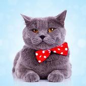 Bored big english cat — Stock Photo