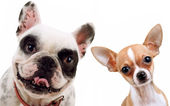 Chihuahua and french bull dog — Stock Photo