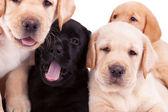 Four little labrador retriever puppies — Stock Photo