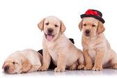 Piccolo labrador retriever cuccioli — Foto Stock
