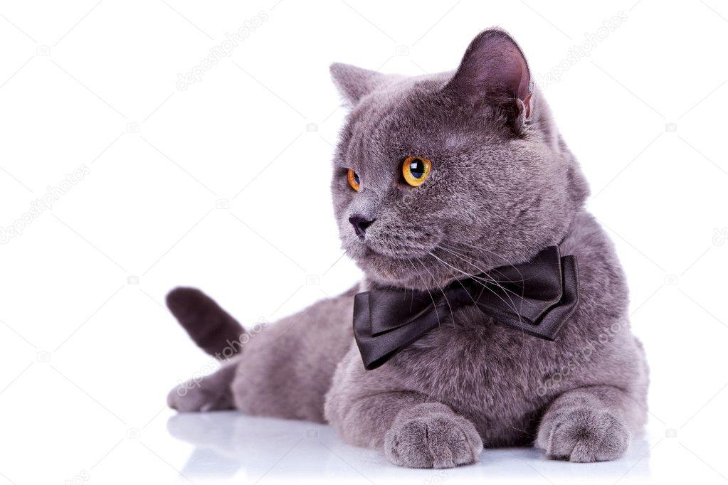 gros chat anglais avec un noeud papillon regardant quelque chose ses cts sur fond blanc image de feedough