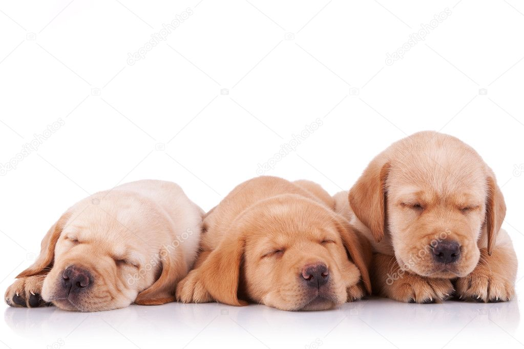 Three adorable little labrador retriever puppies  sleeping on white background — Stock Photo #8403234
