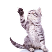 Tabby cat reaching for something — Stock Photo