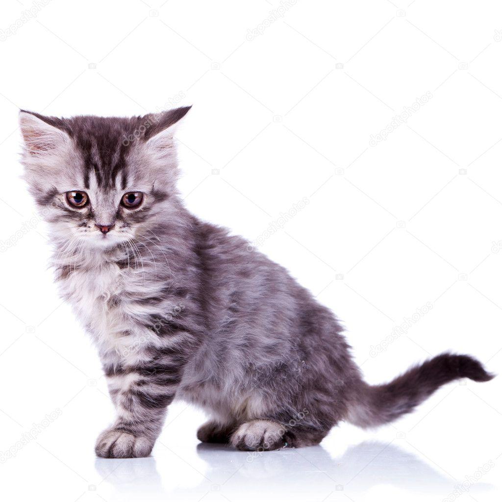Imágenes de un gato lindo bebé tabby plata mirando a la cámara sobre fondo blanco \u2014 Foto de feedough