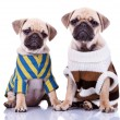 Stock Photo: Two dressed pug puppy dogs