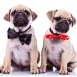 Lady and gentleman pug puppy dogs - Stock Photo