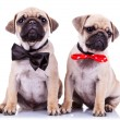 Stock Photo: Lady and gentleman pug puppy dogs