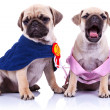 Princess and champion pug puppy dogs — Stock Photo
