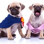 Princess and champion pug puppy dogs — Stock Photo