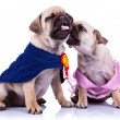Princess and champion pug puppy dogs kissing — Stock Photo #8990926